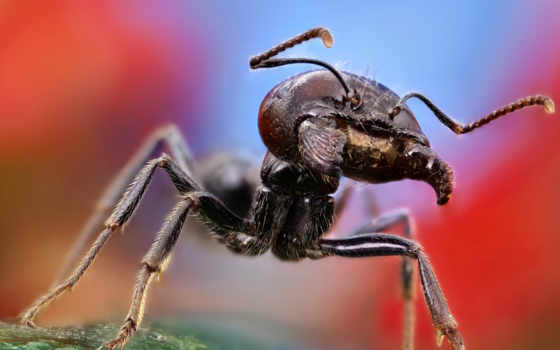 большой, макро, муравей