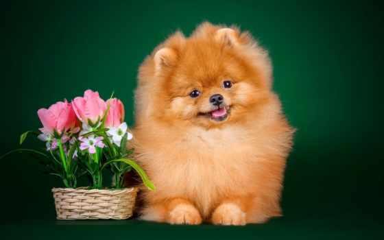шпиц, собаки, zhivotnye, рыжий, корзинка, cvety,