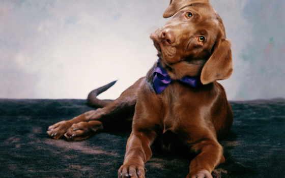 labrador, коричневый, собаки