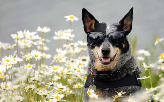 собака, очки, cvety, ромашки, собаки, морда, друг,