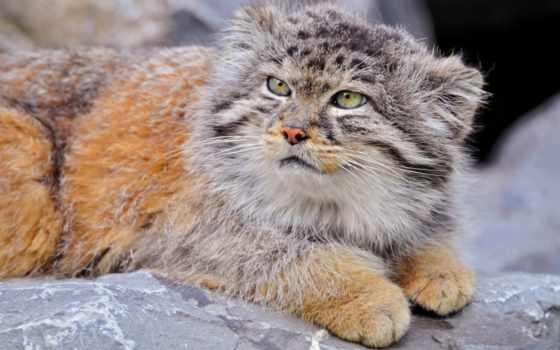 кот, ответить, wild, слово, манул, пяти, кроссворд, сканворд, poncy, букв,