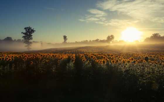 туман, подсолнух, поле, cvety, утро