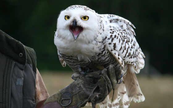 snowy, сова, взгляд