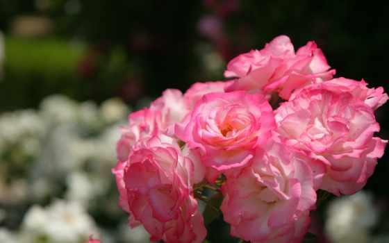 vintage, цветка, flowers, цветы, розовый,