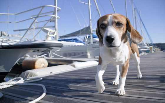 собаки, собака, beagle, картинка, zhivotnye, овчарка,