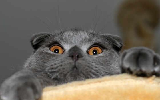 шотландская, вислоухая, кот, фолд, котэ, скотиш, кошки, кошек,
