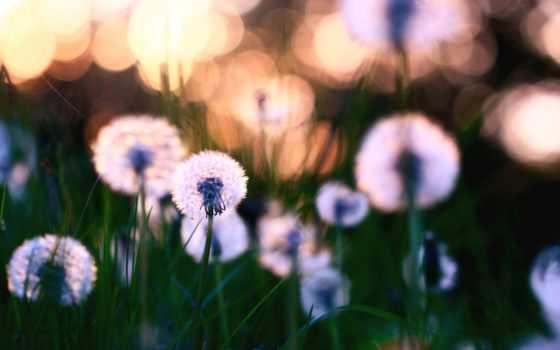 cvety, природа, травка, поляна, одуванчики, растения, листва, цветение,