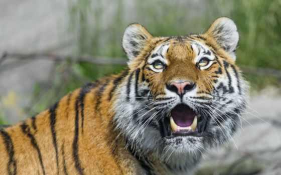 кошки, кот, тигр, клыки, бесплатные, животных, tigers, тигры,