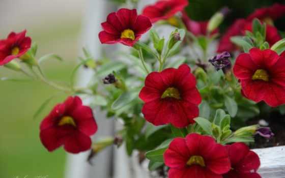 качества, cvety, хорошего, подборка, цветов, картинка, макро, мб, petunia,