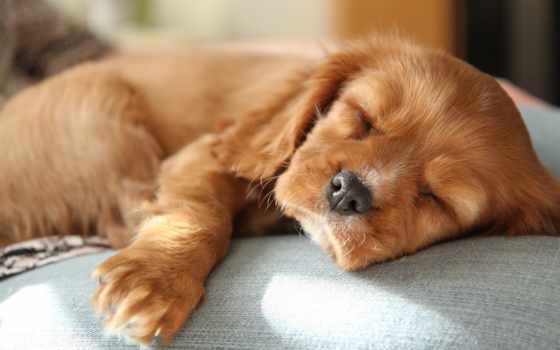 щенок, спать, spaniel, desktop, baby, малыш, страница, собака,