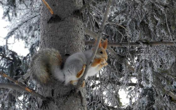 белки, зимой, winter, лес, белки, подборка, that, дерево, зимних, фонов,