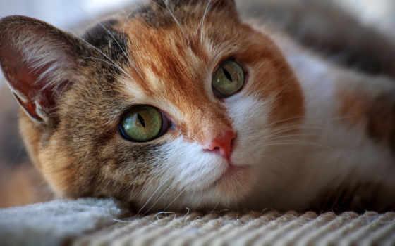 arabian, кот,