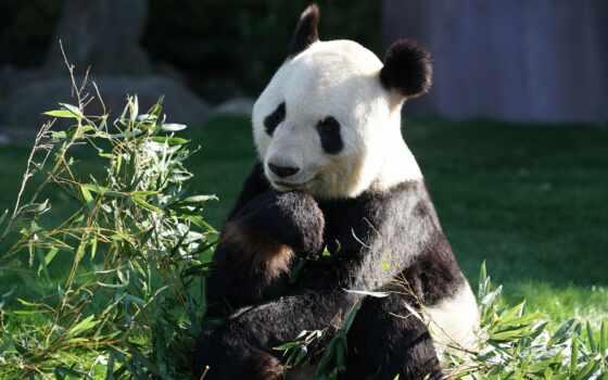 зелёный, панда, sit, pro, первую, animal, медведь, во, близко, растение, поле