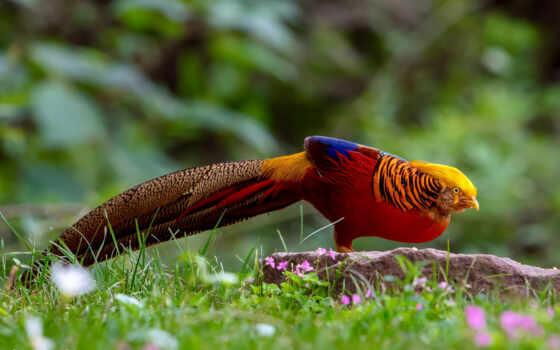 золотистый, pheasant, природа, трава, птица, tail, animal