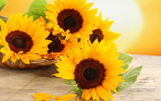 подсолнухи, цветы, корзиночках