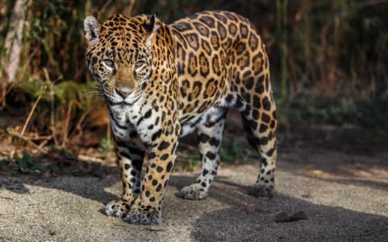 jaguar, кот, дикая