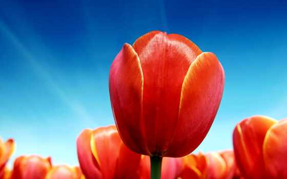 тюльпан, тюльпаны, цветы, солнечно, небо, red,
