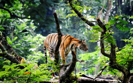 jungle, тигр, india