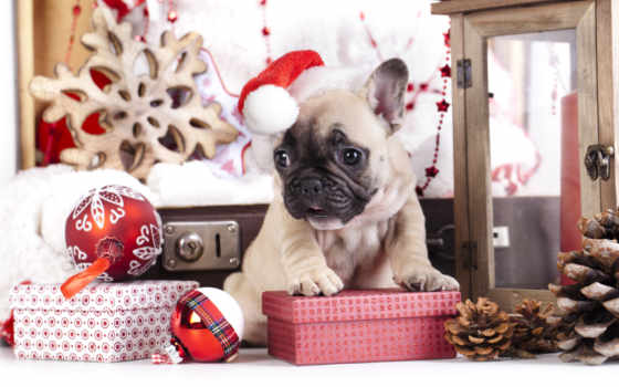 new, bulldog, щенок, год, french, подарки, бульдога, собака, французского, собаки, шапка,
