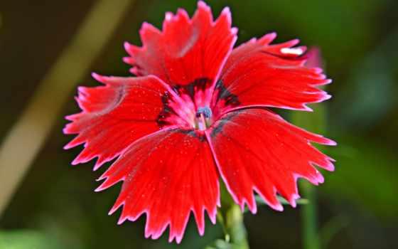 cvety, flowers, изображение, closeup, картинка, birds, гвоздики, red, крупным,