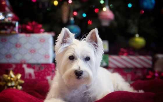 white, собака, west, бультерьер, highland, смотреть, stars, уайт,