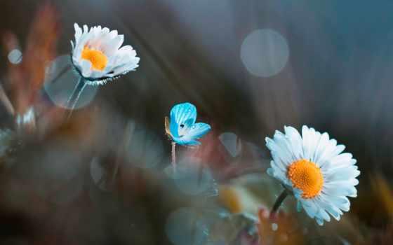 цветы, parede, blue, papel, flores, fone, ромашки, borboleta, лепестки, размытом,