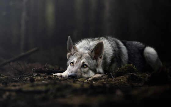 волк, fore, собака, волчий, фото, доска, найти, habitat, pinterest, картинка