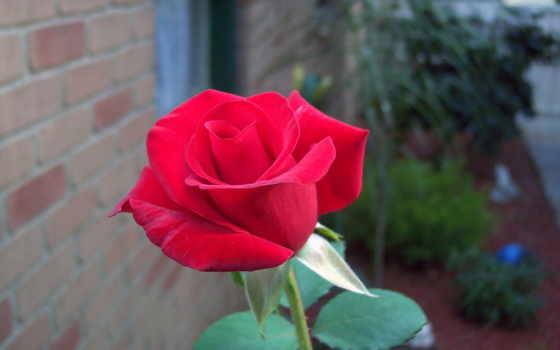 rose, wallpaper
