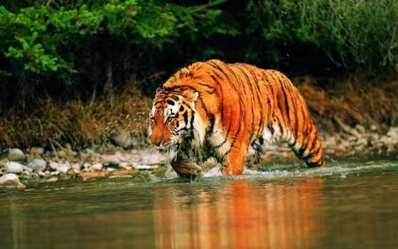 tiger, китайский