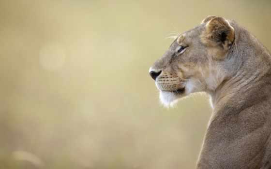 животные, львы, коллекция