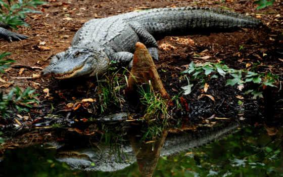 крокодилы, животные
