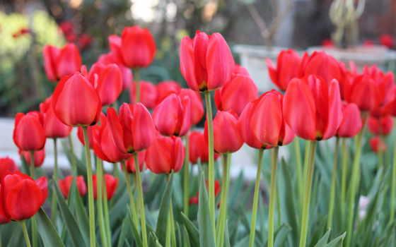 цветы, поля, тюльпаны