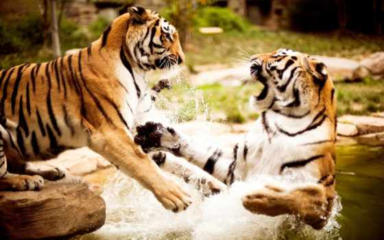 тигры, zhivotnye, природа