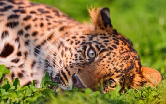 трава, красивые, кот, леопард, хищник, морда, траве, zhivotnye, ложь,
