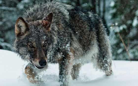 волк, волки, серия