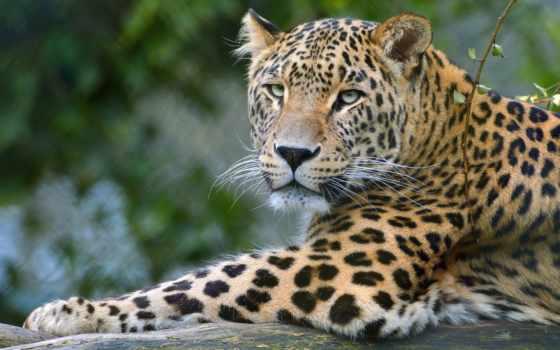 leopardo, fondo, pantalla, fondos, animal, фон, fauna, леопард, iphone,