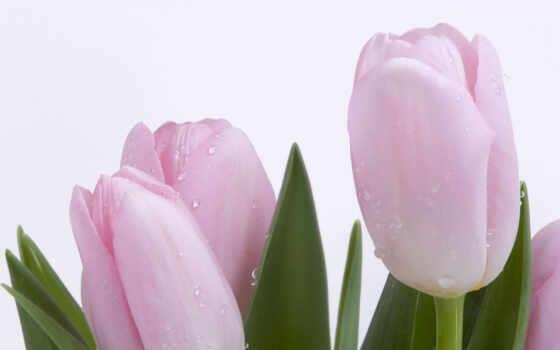 тюльпаны, нежность