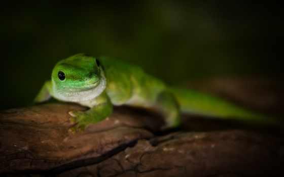 ящер, зелёная, геккон