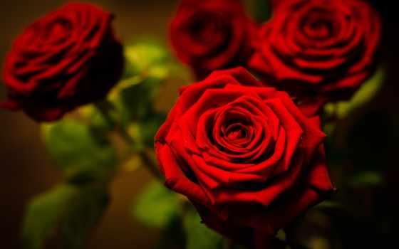 цветы, розы, разделе