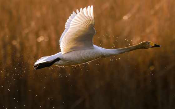 птица, flying, birds, long, white, rocks, шея, desktop,