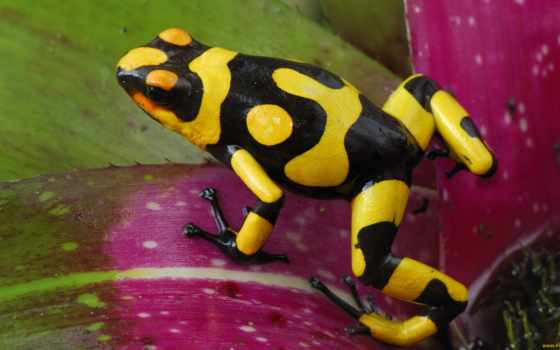 лягушка, желтая, древолаз, лягушки, zhivotnye, зелёная, чёрно,