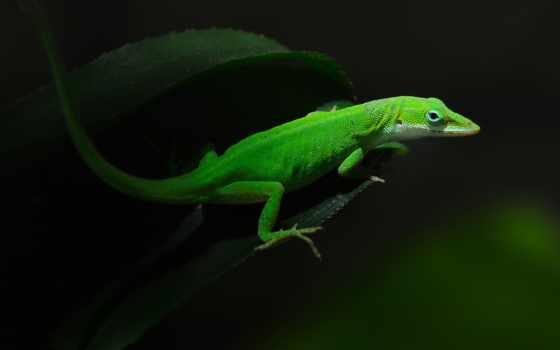 ящер, зелёная, basilisk