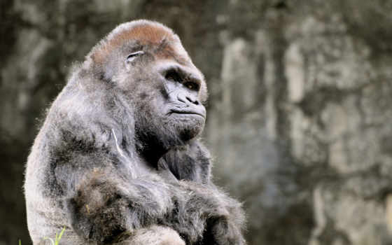 горилла, обезьяна, животные, графика, гориллы,