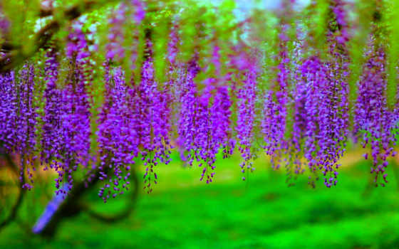wisteria, desktop, possible