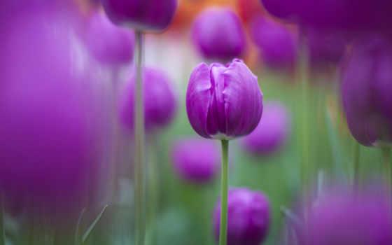фиолетовые, тюльпаны, цветы