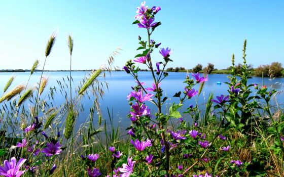 растение, страница, cosmos, photos, summer, ботаника, космея, бесплатные, world,
