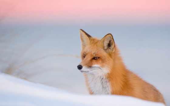 фокс, снег, winter, кот, рыжая, ловит, мышей, снегу,