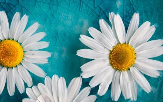 ромашки, cvety, лепестки, fone, голубом, белые, white, еда, картинку,