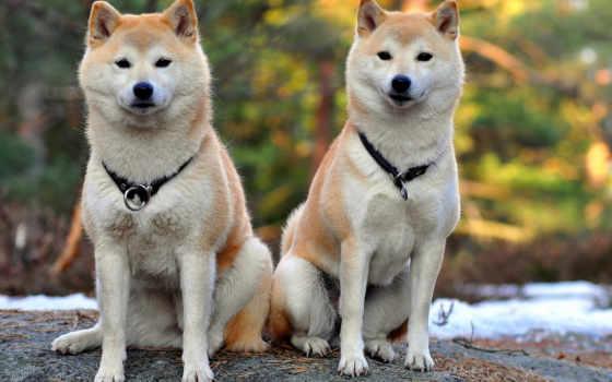 shiba, акита, собак, сиба, характер, than, породы, собаки, порода,
