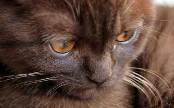 кот, браун, темно, глазами, котенок, янтарными, коты, nice, hal, чеснок,